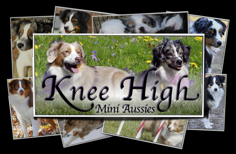 Knee High Mini Aussies